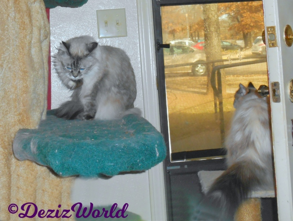 Dezi licks paw while sitting on cat tree and Raena looks out door from small perch