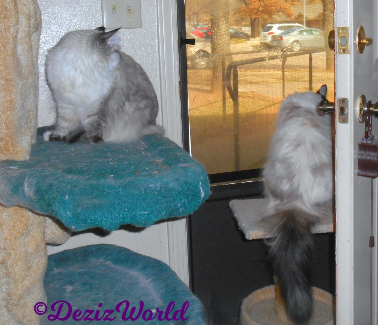 Dezi sits on cat tree and Raena on perch looking out door
