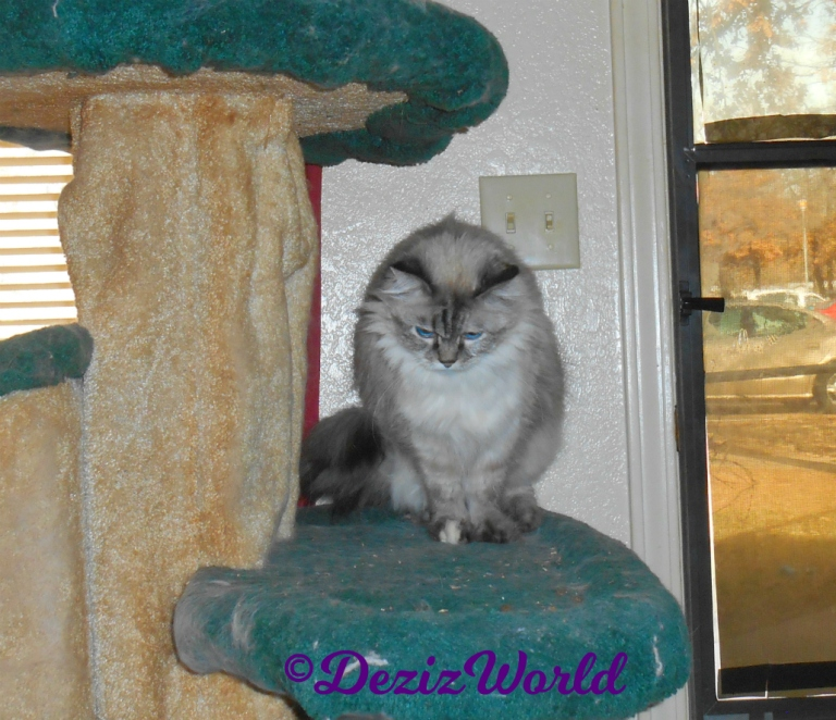 Dezi sits on cat tree with head bowed