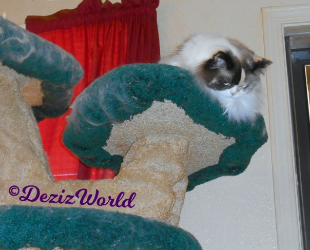 Raena looks down from atop cat tree