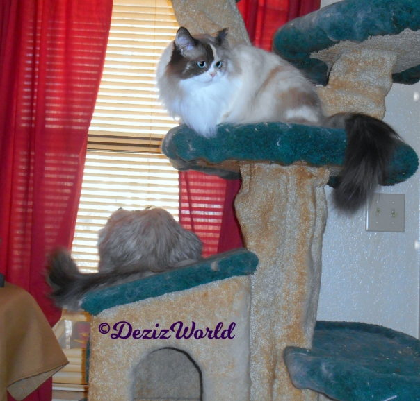 Dezi sits on cat tree house looking out window and Raena sits on cat tree ledge
