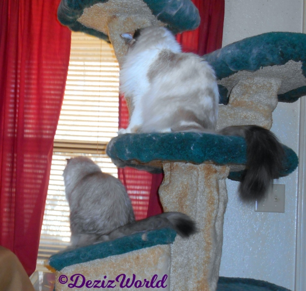 Dezi and Raena look out window from cat tree