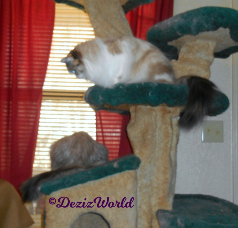 Dezi and Raena look out window from atop the cat tree