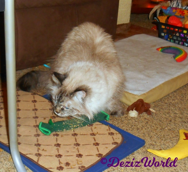 Dezi plays with nip toy