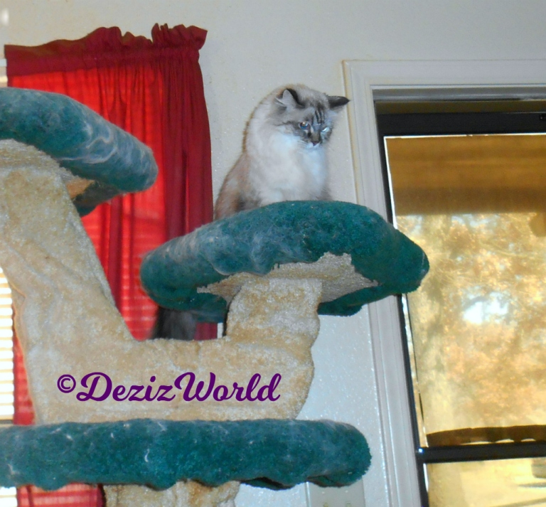 Dezi sits atop cat tree looking down