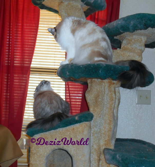 Dezi sits on cat tree looking back at Raena on the ledge