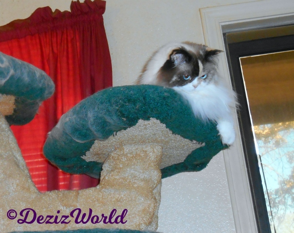 Raena lays atop the cat tree looking down