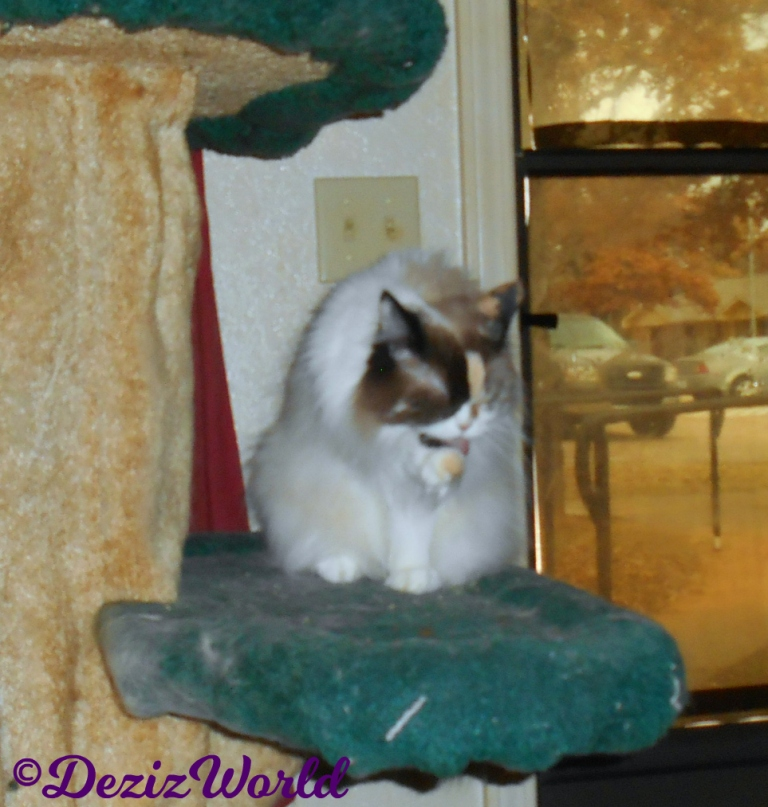 Raena licks paw while sitting on cat tree
