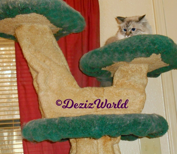 Dezi lays atop cat tree