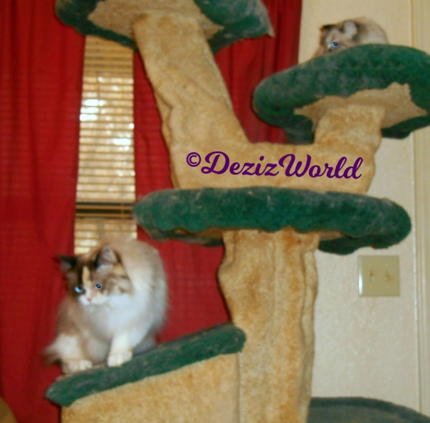 Dezi lays atop cat tree and Raena stands on cat tree house