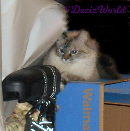 Dezi lays on top of a walmart box
