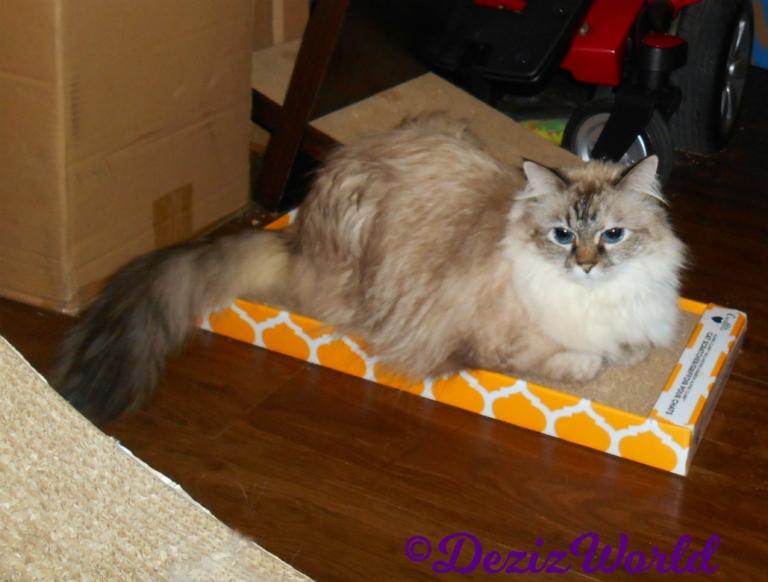 Dezi lays on cat scratcher