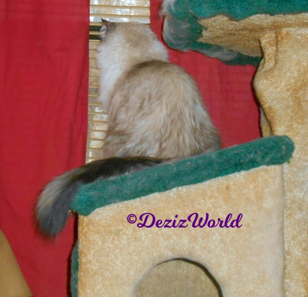 Dezi looks out window from cat tree