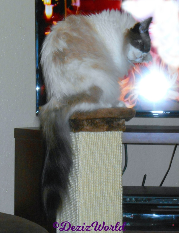 Raena bathes while sitting atop scratcher in front of tv