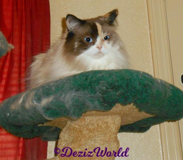 Raena lays atop the cat tree