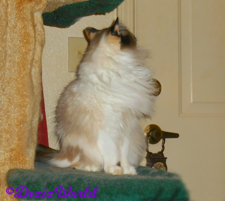 Raena sits on the cat tree looking at the door