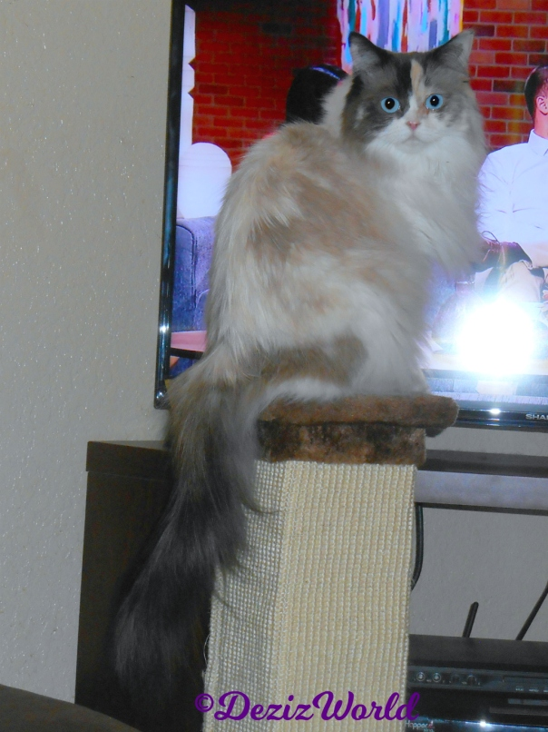 Raena sits on scratcher in front of the tv