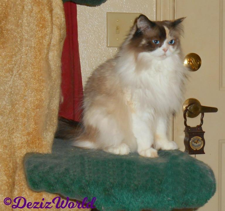 Raena sits on cat tree looking pretty