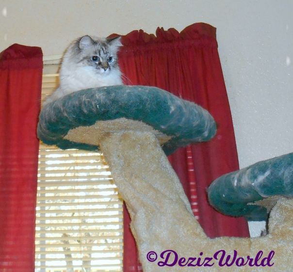 Dezi looks dow in curiosity from atop cat tree