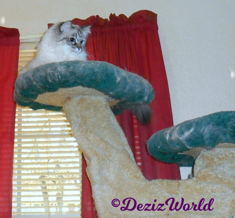 Dezi looks down in curiosity from atop cat tree