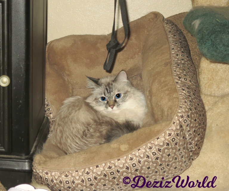 Dezi lays in cat bed at foot of cat tree