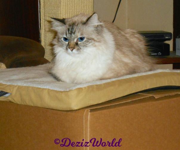 Dezi lays on cat mat on top of box