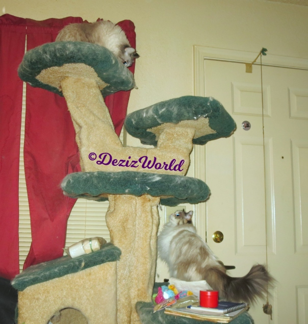 Dezi and Raena play on cat tree while mommy A tries to pack
