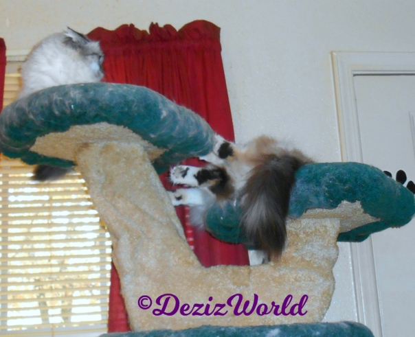 Dezi and Raena have a spat at top of cat tree