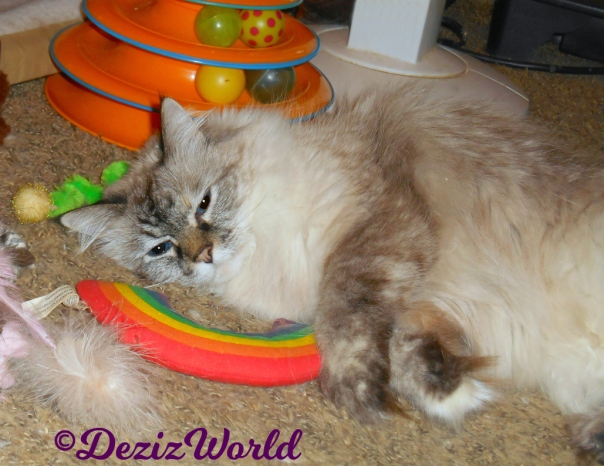 Dezi rolls around on catnip toys