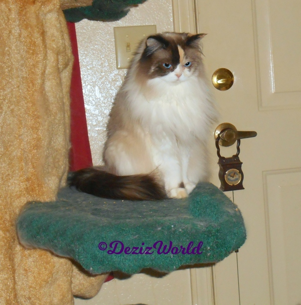 Raena sits pretty on cat tree with head tucked coyly