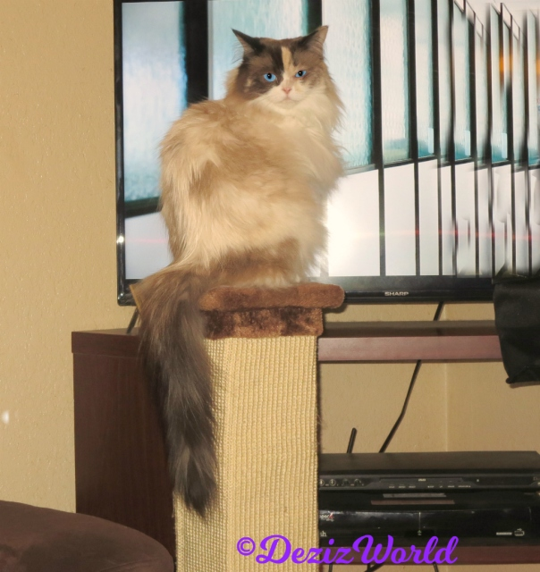 Raena sits pretty on scratcher in front of tv