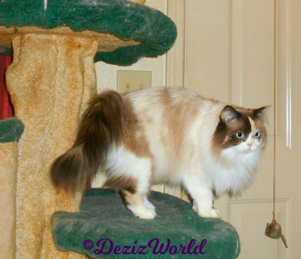 Raena stands on cat tree profile