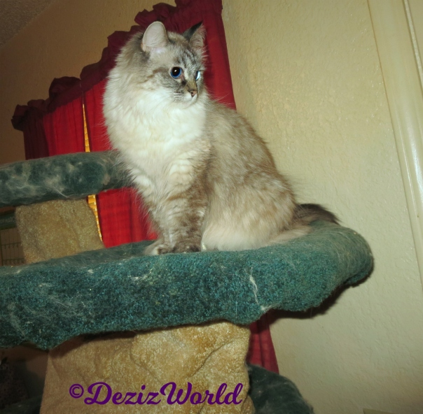 Dezi sits atop cat tree