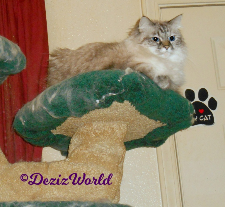 Dezi lays atop the cat tree