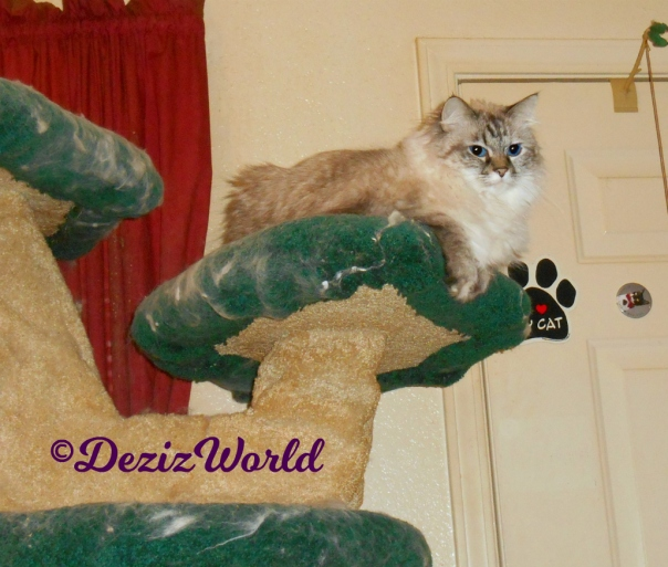 Dezi lays atop cat tree