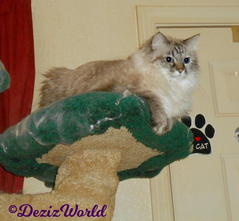 Dezi lays on cat tree , selfie