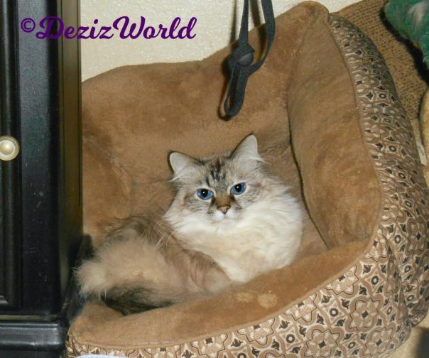 Dezi lays in cat bed