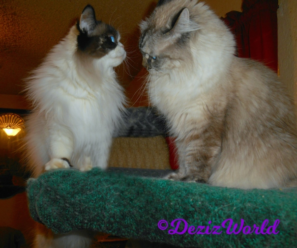Dezi and Raena face off lovingly atop the liberty cat tree