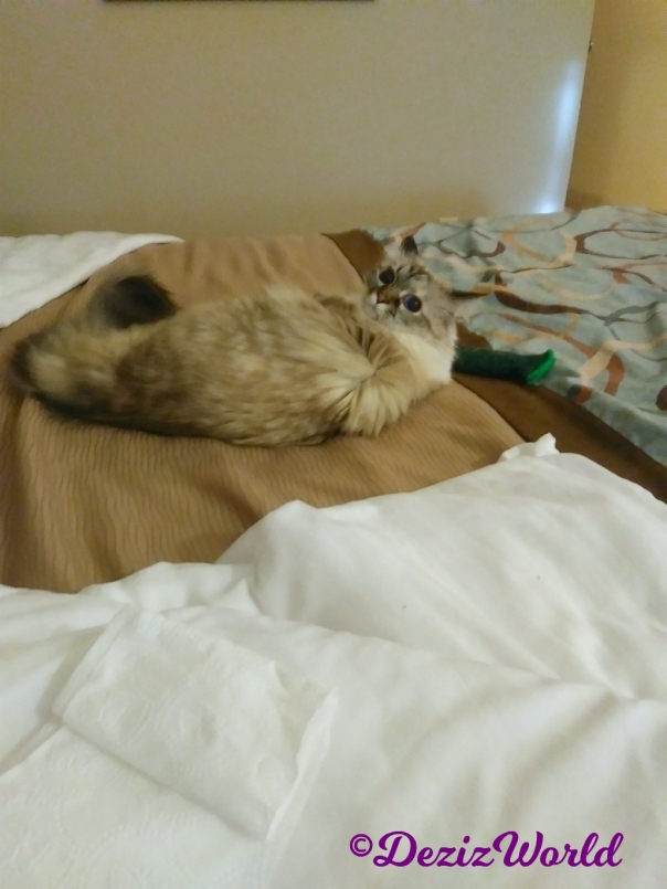 Dezi plays on hotel bed