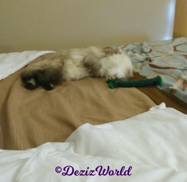 Dezi plays with pickle on hotel bed