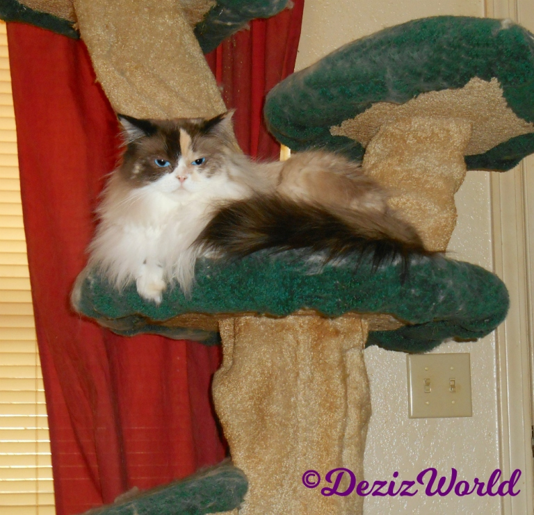 Raena lays on cat tree