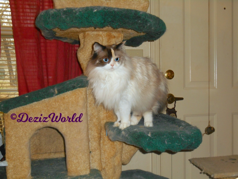 Raena stands on cat tree