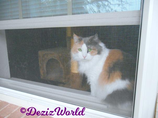 Daisy the neighbor calico sitting in her window