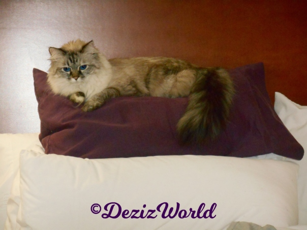 Dezi lays on pillow