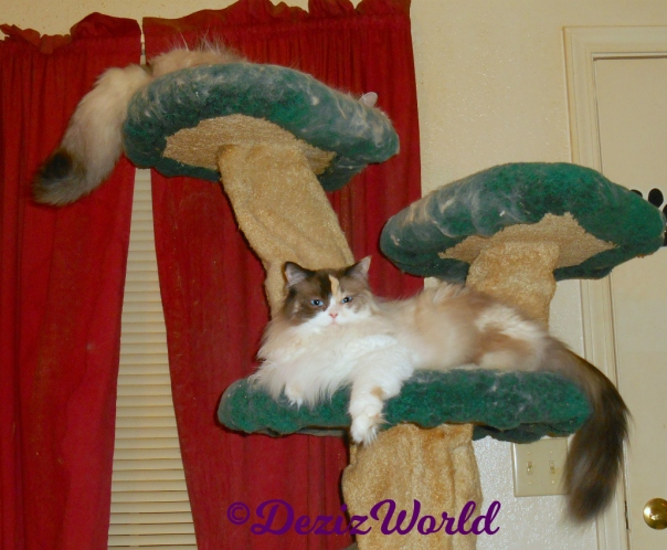 Dezi and Raena lay on the cat tree