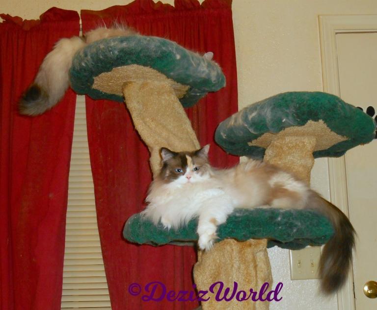 Dezi and Raena lay on the cat tree