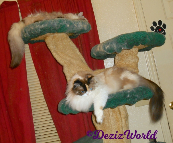 Dezi and Raena laying on the cat tree
