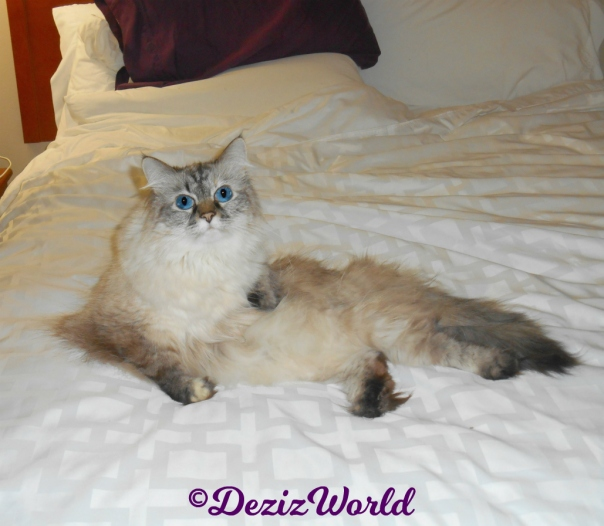 Dezi lays in a pretty pose in the hotel bed