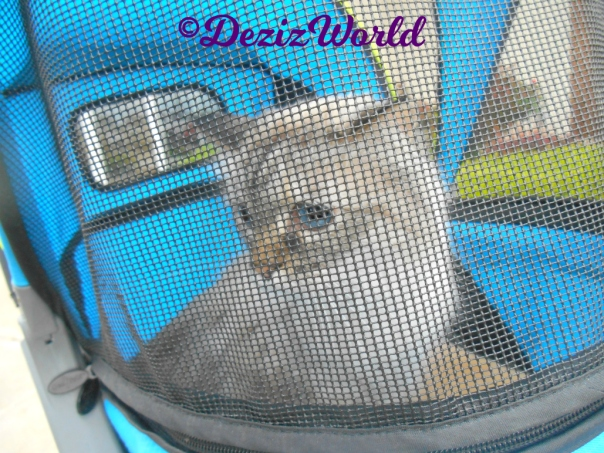 Dezi with a coy pose in the stroller