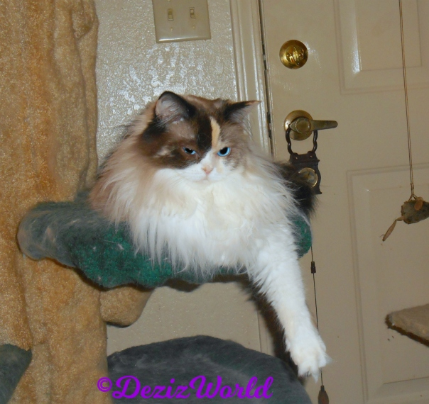 Raena lays pretty on cat tree -selfie